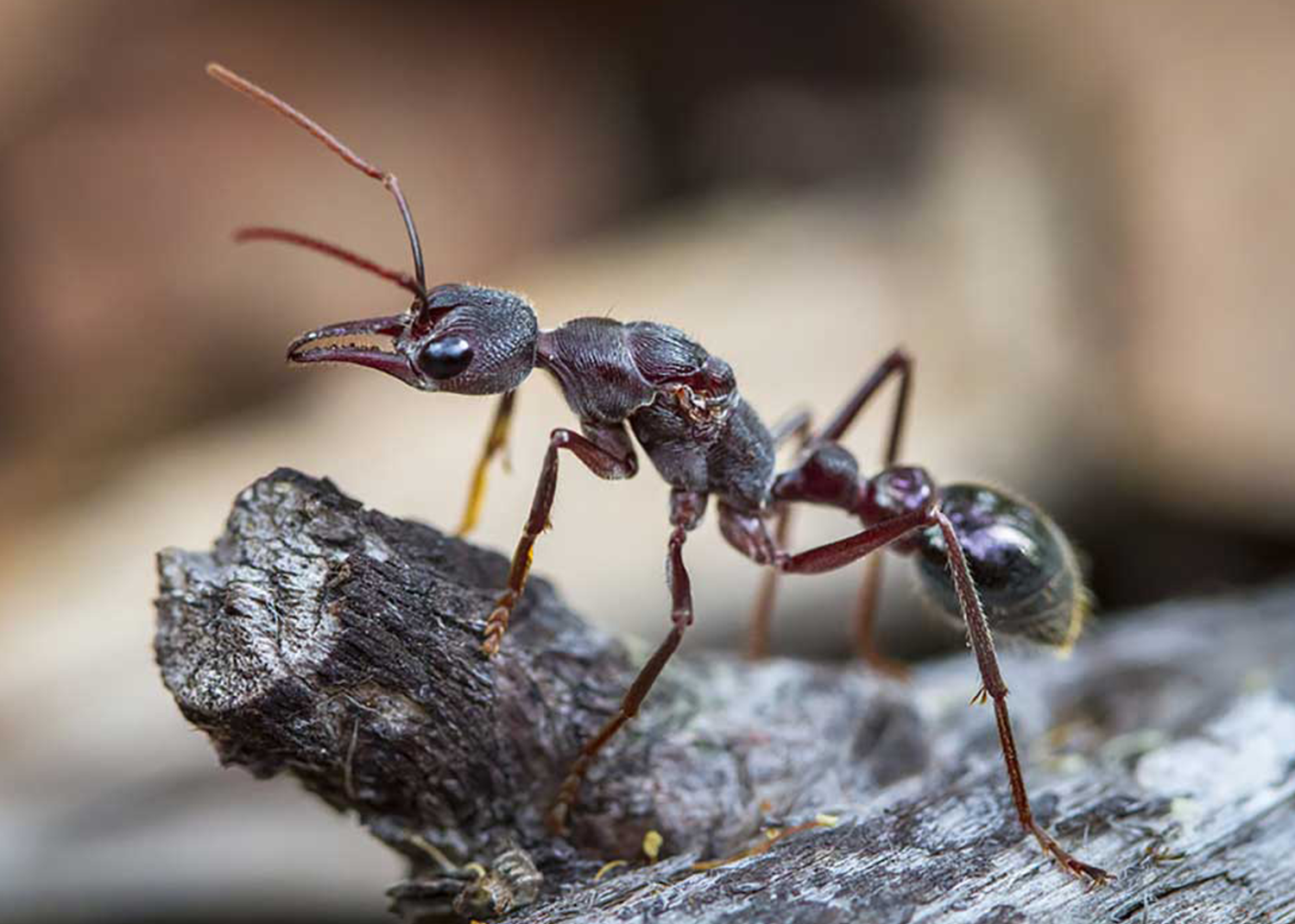 Myrmecia forficata Queen Only - Ant Keeping Depot